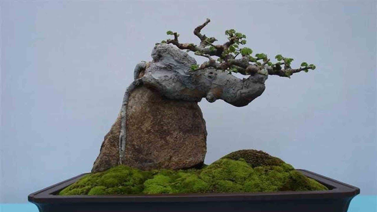 ky thuat tao cay bonsai om da don gian