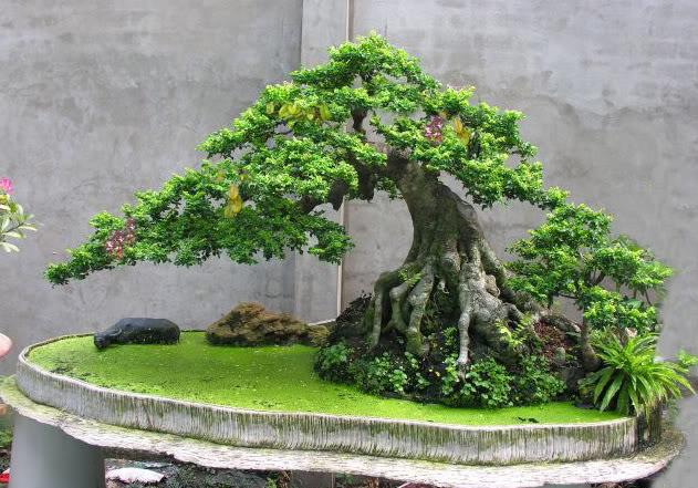 ky thuat tao cay bonsai om da don gian 2