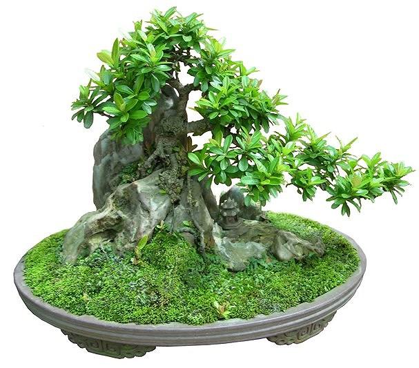 ky thuat tao cay bonsai om da don gian 3