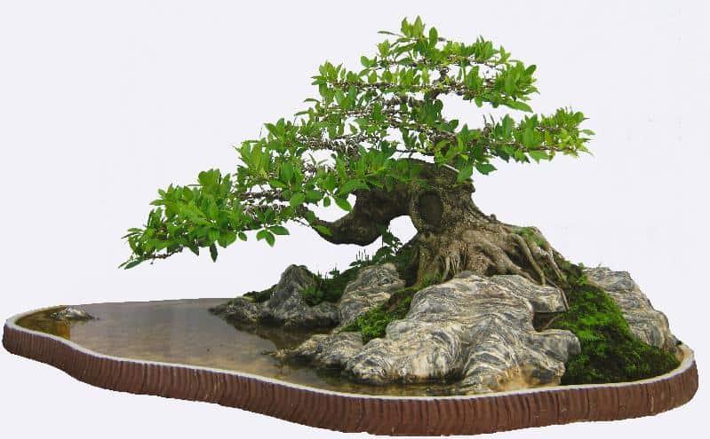 ky thuat tao cay bonsai om da don gian 5