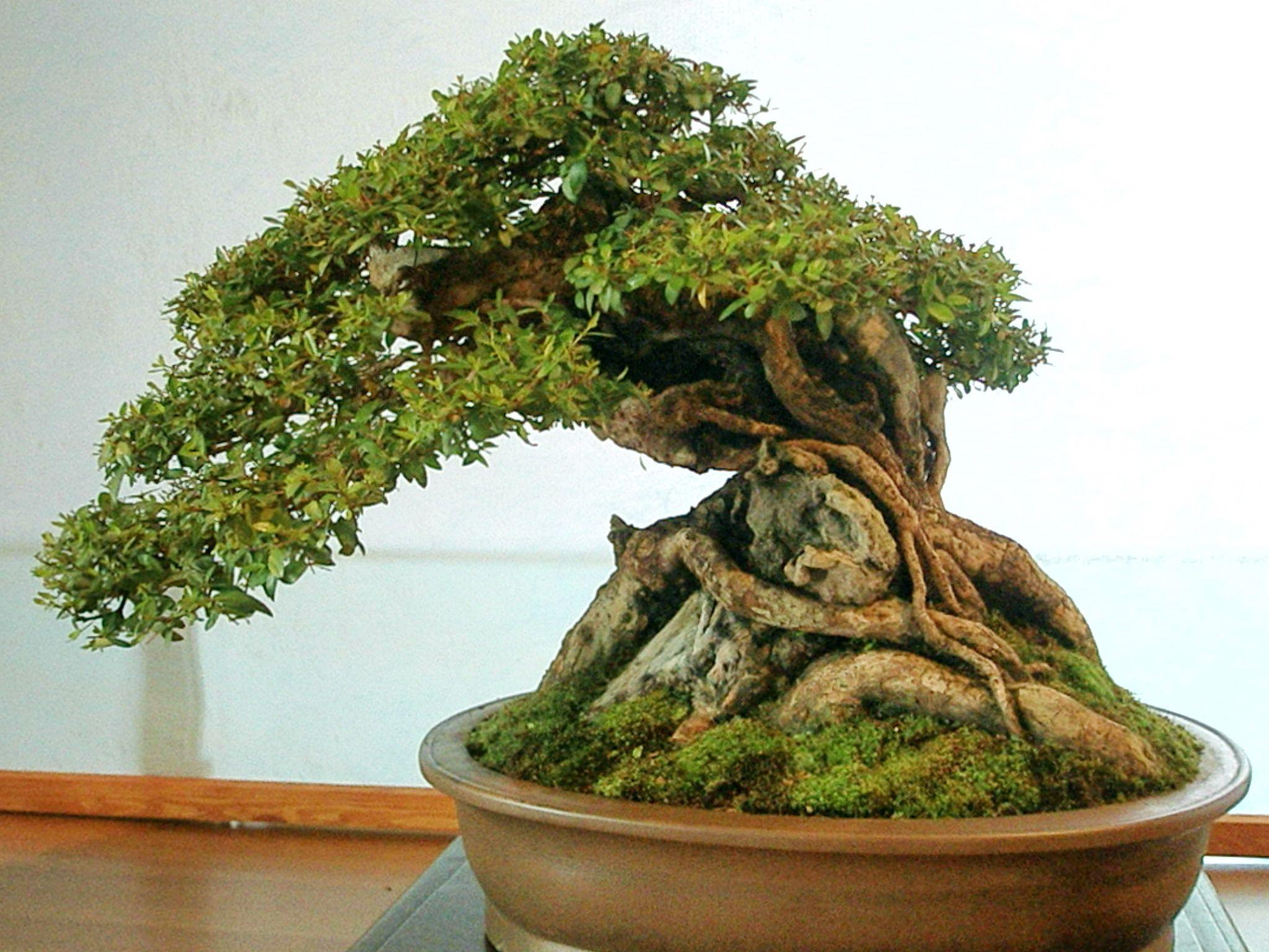 ky thuat tao cay bonsai om da don gian 6