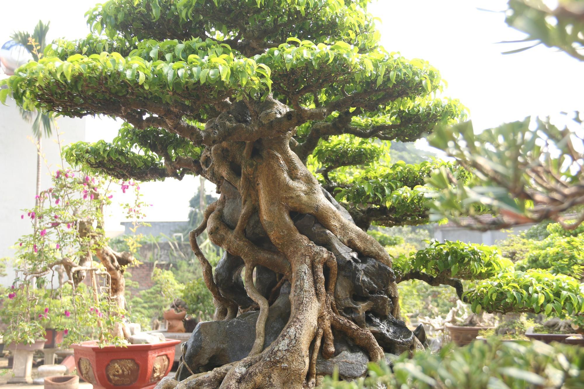 ky thuat tao cay bonsai om da don gian 13